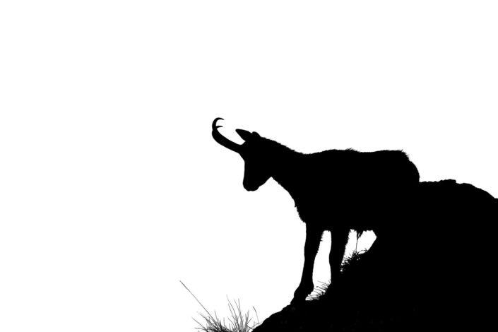 camoscio silhouette