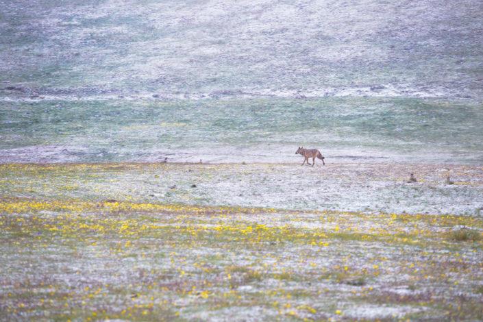 lupo parco nazionale del gran sasso